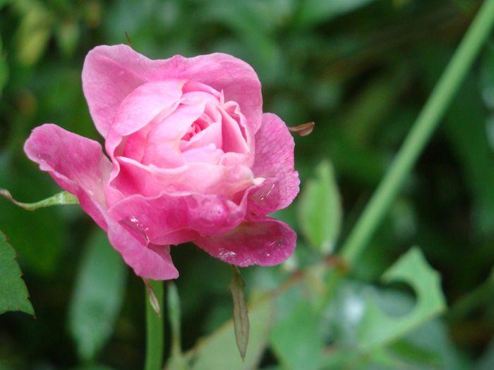 1. ROSE.JPG