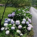 赤柯山路邊的繡球花