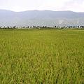 大禹的稻田,即將要收割了
