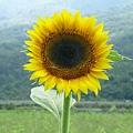 大禹的向日葵