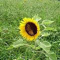 8月29日,大禹,向日葵與蝴蝶