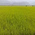 大禹的稻田