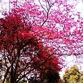 園內的櫻花樹