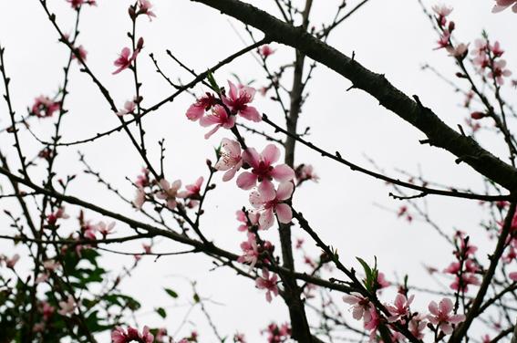 將落盡的櫻花