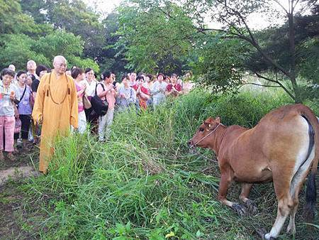 母牛下跪1