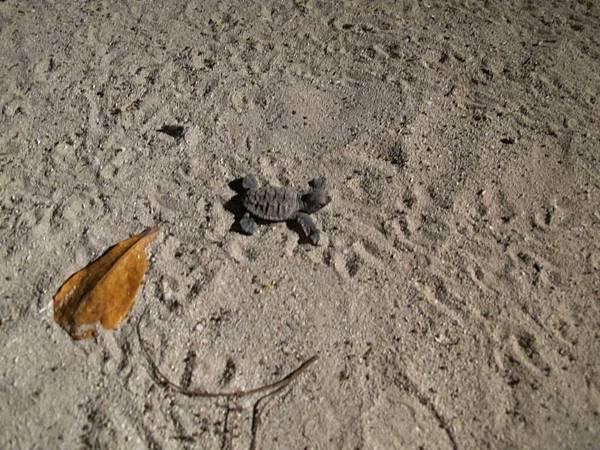 小海龜失去了方向在岸上亂爬