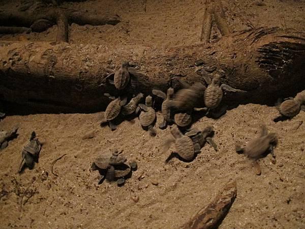 樹下有一大群的海龜寶寶