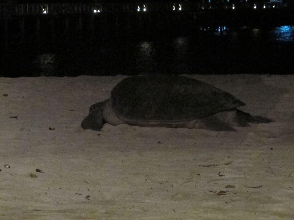 母海龜上岸產卵 @ Mabul Maylaysia