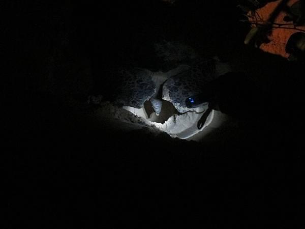 海龜媽媽產卵中