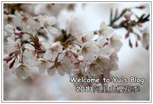 2013阿里山櫻花季