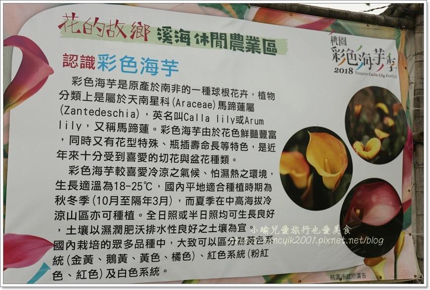 桃園彩色海芋10