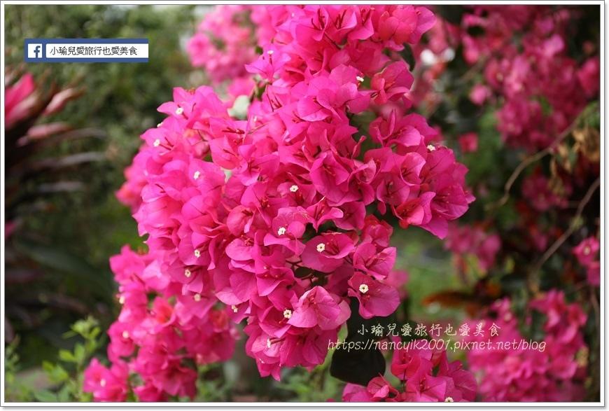 桃園彩色海芋23