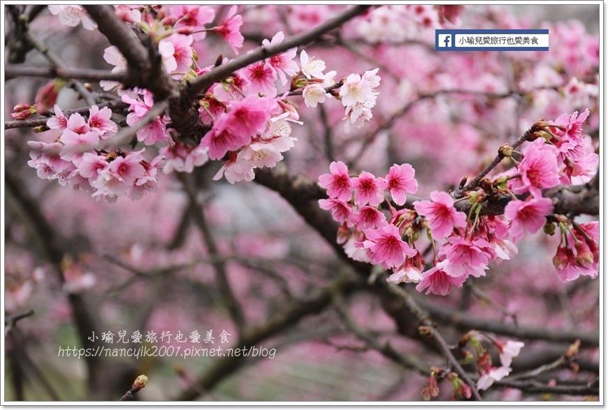 東湖櫻花6