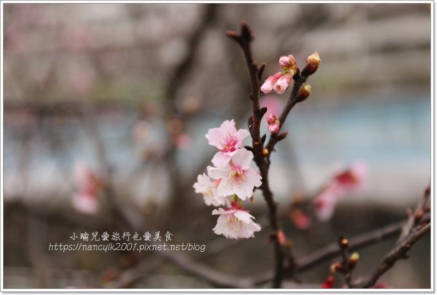 東湖櫻花7