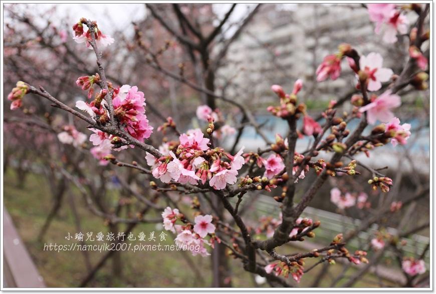 東湖櫻花8