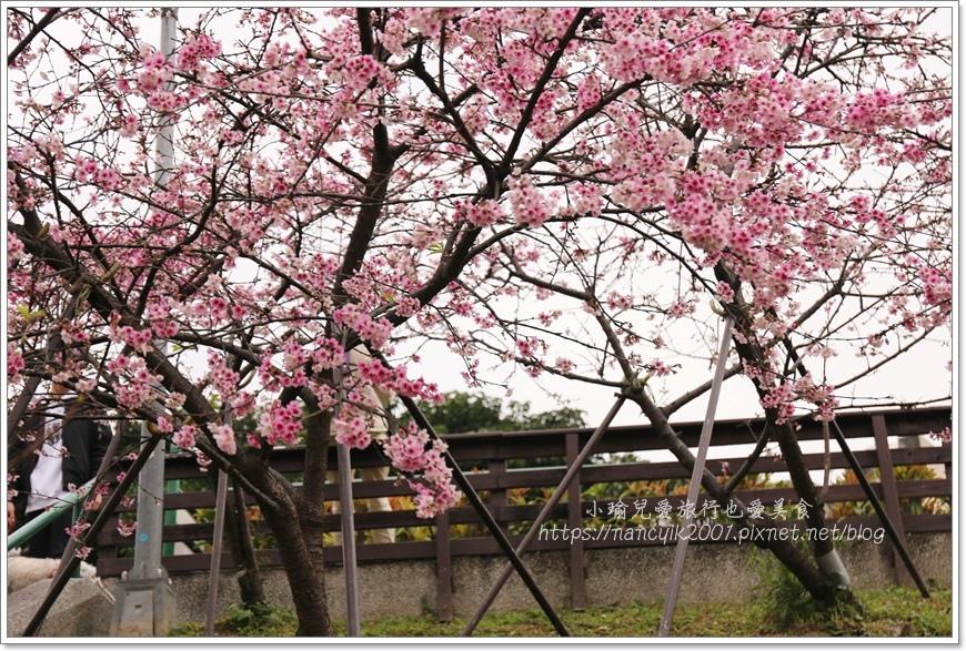 東湖櫻花11