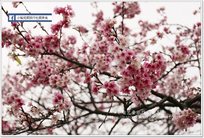 東湖櫻花12
