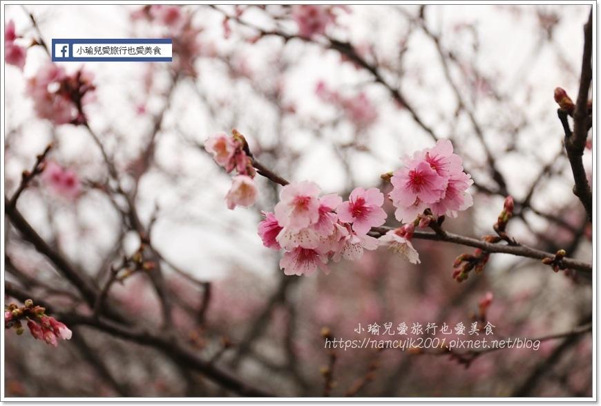 東湖櫻花17