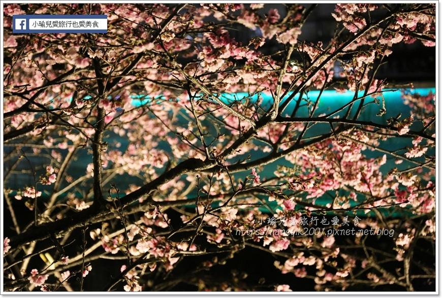 東湖櫻花31