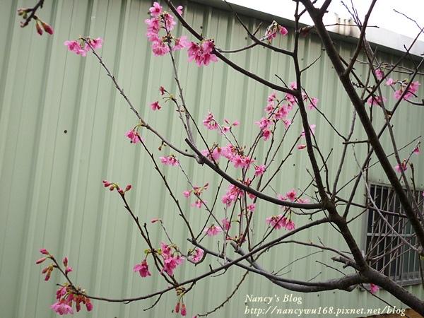頂樓山櫻花-1