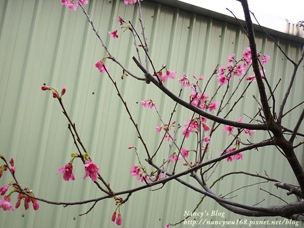 頂樓山櫻花-2