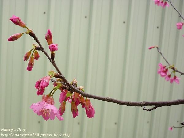 頂樓山櫻花-3