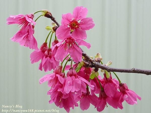 頂樓山櫻花-5