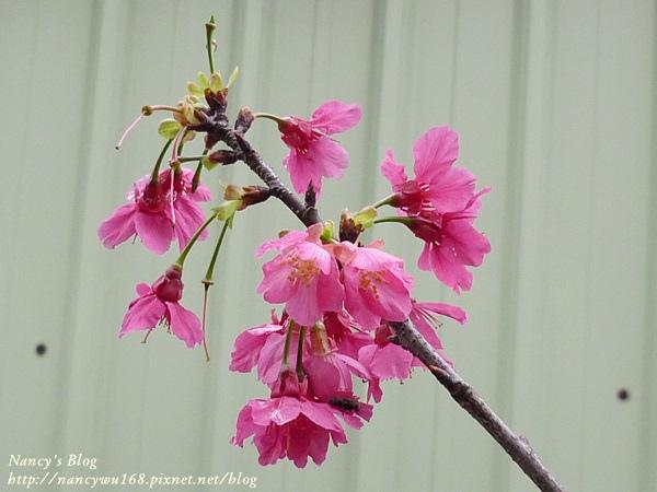 頂樓山櫻花-6