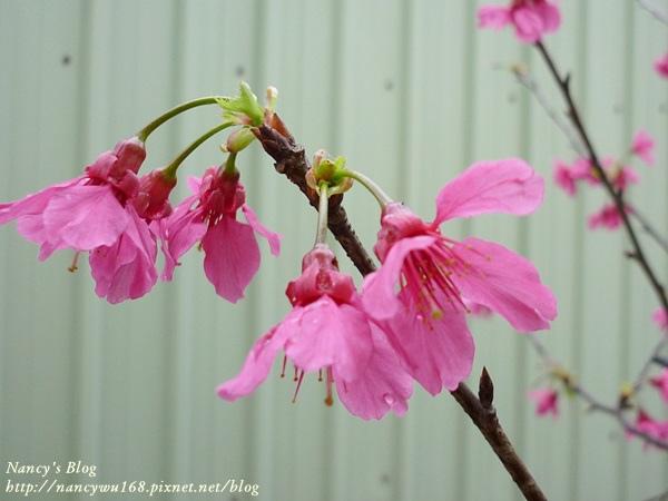 頂樓山櫻花-7