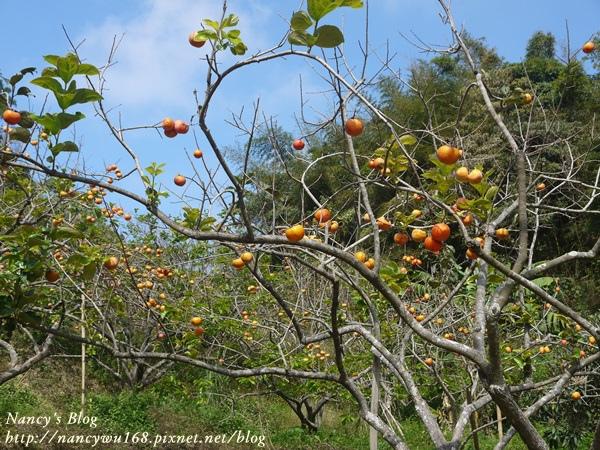後山的柿子-1
