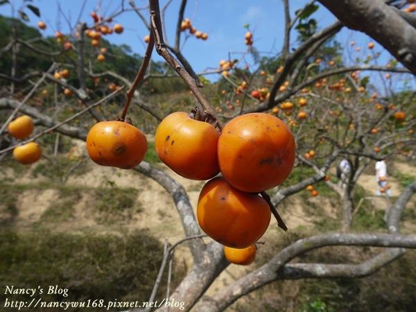 後山的柿子-2