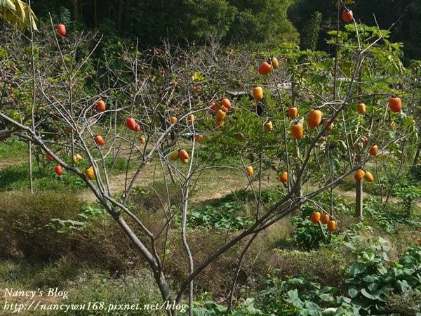 後山的柿子-筆柿