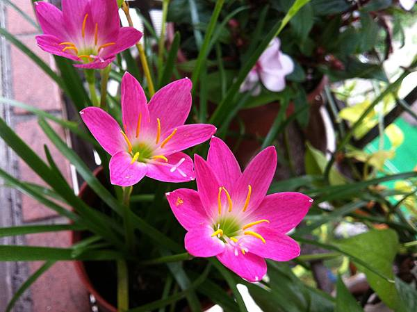 韭蘭花.jpg