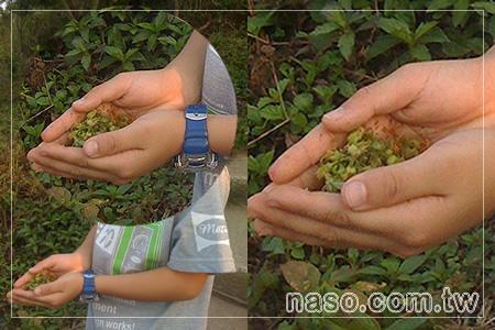 拿手網-桃園虎頭山之旅-naso小王子採摘「瘦果」的成績。