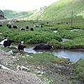 路旁的犛牛在洗澡