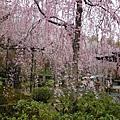 20120411嵐山天龍寺