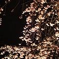 20120410賞夜櫻啦
