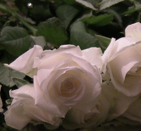 白玫瑰運動1
