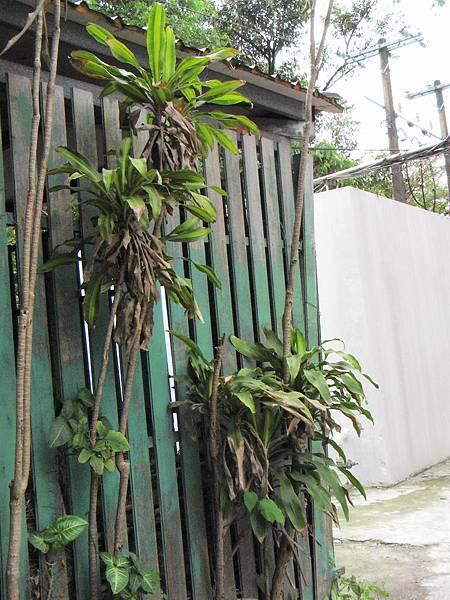 巴西鐵樹1