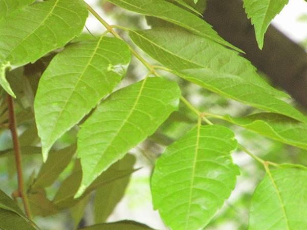 台灣欒樹2