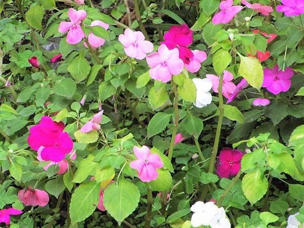非洲鳳仙花1