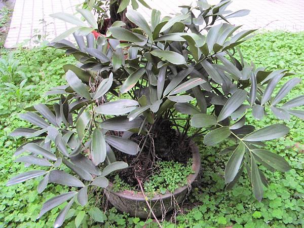 闊葉鐵樹1