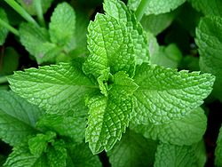 250px-Mint-leaves-2007.jpg