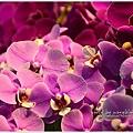 orchid11.jpg