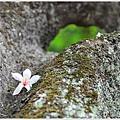 牛耳藝術渡假村油桐花