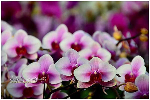 orchid13.jpg