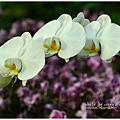 orchid21.jpg