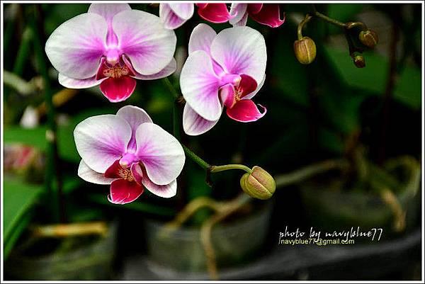 orchid25.jpg