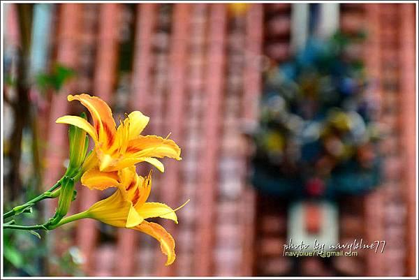 daylily02.jpg