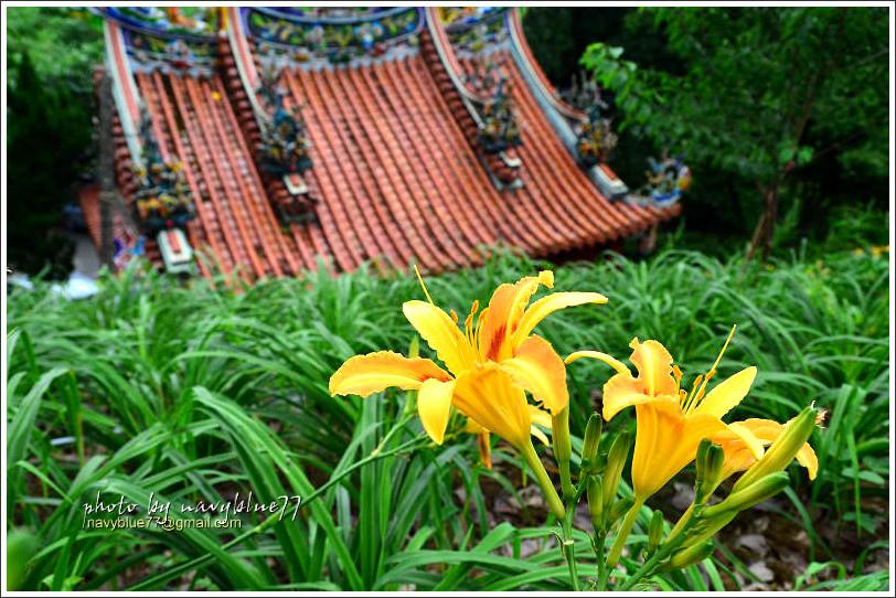 daylily03.jpg